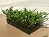 Creeping Juniper - Prince of Wales - 30 Live Plants in 4'' Containers - Evergreen Groundcover