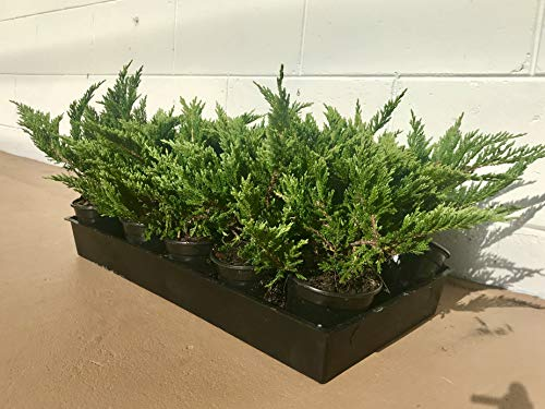 Creeping Juniper - Prince of Wales - 30 Live Plants in 4'' Containers - Evergreen Groundcover by Florida Foliage (Image #9)