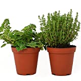 Live Oregano and Thyme Plant - Set of 2 Hardy Herb Plants Grown Organic Non-GMO USA Great Container Herbs Shipped Potted
