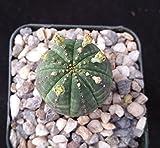 Euphorbia obesa basketball plant Cactus Cacti Succulent Real Live Plant