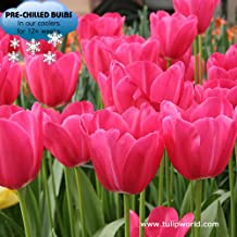 Pre-chilled Pink Tulips - Pink Triumph Tulips - 15 Bulbs