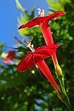 Cardinal Climber 25 Seeds - Cypress Vine