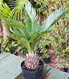 SAGO Palm Cycas revoluta Live Plant Great for Bonsai!
