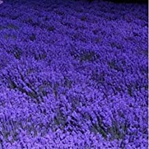 French Provence Lavender Seeds Potted Plant Seeds Very Fragrant 100 Seeds (Item No: 1)