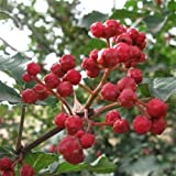 Chinese Sichuan Pepper Tree Seeds (Zanthoxylum bungeanum) 60+Seeds