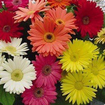 "(AGER)~""MIXED"" GERBERA DAISY~Seed!~~~~~~~~So Many Colors!!!"
