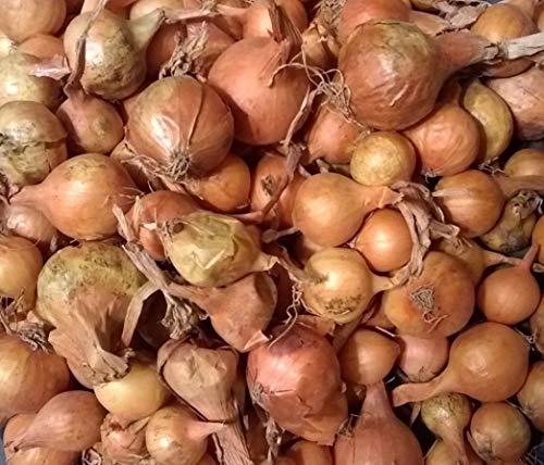 Shoppy Star Germinación de Las Semillas de Cebolla: Amarillo de Otoã±o Invierno Conjuntos Bulb - 45-50 CT. Listo para...