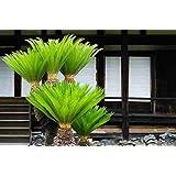Vamsha Nature Care 3 Years Old Live Bonsai King Sago Palm Tree, 1.5ft