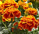 Earthcare Seeds French Marigold Sparky 500 Seeds Tagetes patula