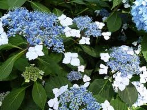 Hydrangea, Blue Bird, Blue flowers, TEN 1-gallon plants, by Unknown