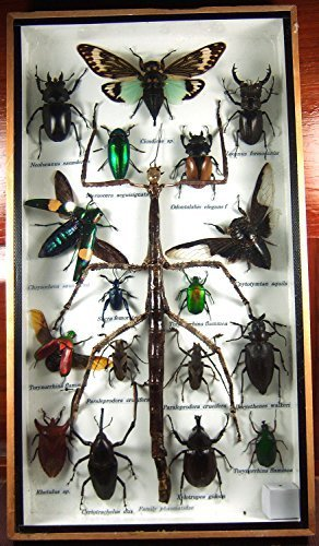 Real Display Insect Taxidermy Big Set in Box for Collectible Gift #01