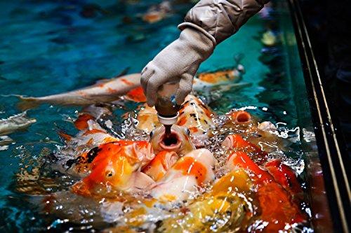 Koi - 8 Live Koi Fish for Pond, Fish Tank or Aquarium | Lot of 8 Standard Fin Grade A Quality Koi (5-6 inch)
