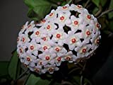 Hoya Carnosa starter plant, well rooted, Wax plant
