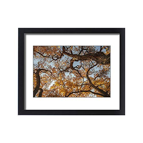 - Media Storehouse Framed 20x16 Print of Cottonwood Trees in Fall Foliage, Rio Grande Nature Park, Albuquerque (19034067)