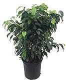 """Best garden hoose - SS0144 Tree Ficus Wintergreen Weeping Fig Indoor 8"""" Review"""