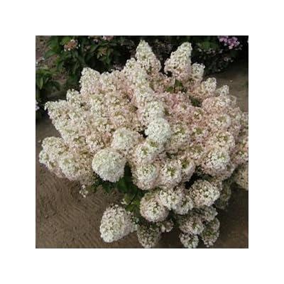 Hydrangea-Bobo - QT Pot (Shrub) : Garden & Outdoor
