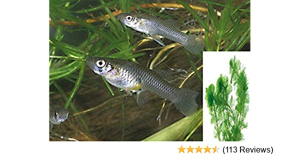 25+ Live Mosquito Fish (Koi Pond) Aquarium Feeder Fish with Guppy Granuals