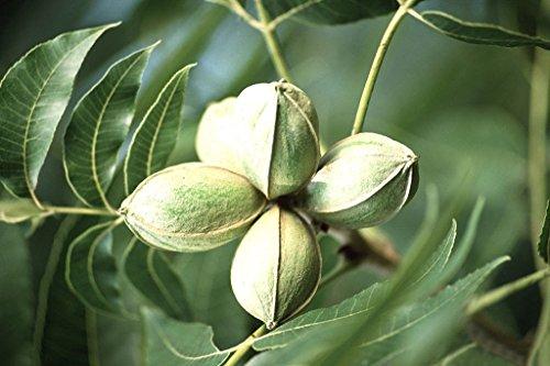 pecan-carya-illinoinensis-tree-seeds-hardy-edible-nuts-8-seeds