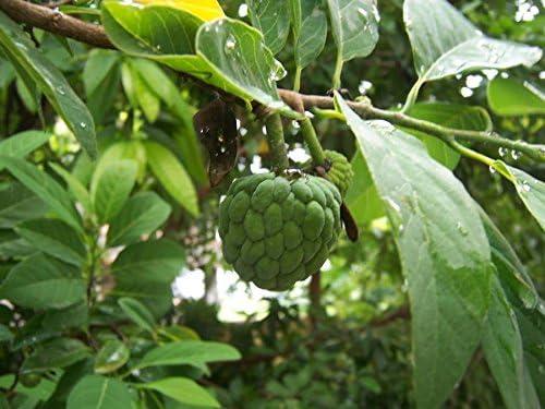 Asklepios-seeds/® ri/ñ/ón anona o saramuyo 200 Semillas de Annona squamosa an/ón crudo