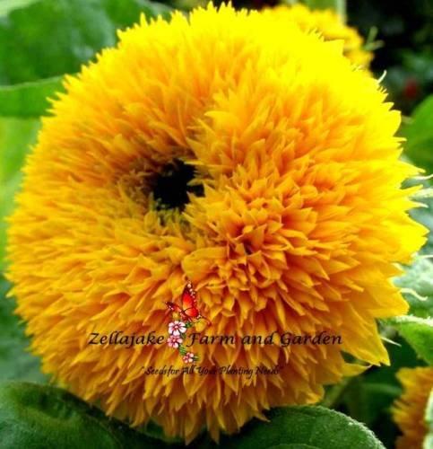 Dwarf Teddy Bear - Teddy Bear Dwarf Sunflower Seeds aka Sungold Unique Rare Beauty 40 seed