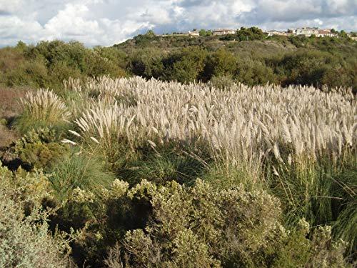Pampas Grass Qty 30 Live Plants Cortaderia Selloana