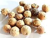 oak fruit - GALL OAK Querus Infectoria MAJUPHAL FRUIT Ayurveda WHOLE - 100g