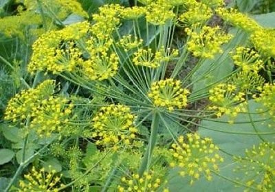 Dill Long Island Mammoth 200 Seeds