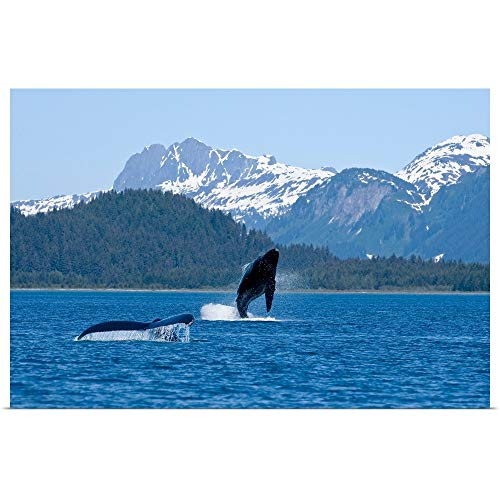 GREATBIGCANVAS Poster Print Entitled A Humpback Whale Calf breaches as its Mother Swims Nearby, Dundas Bay, Alaska by 18