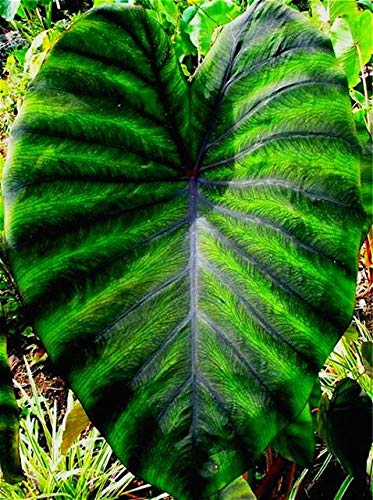 shopmeeko Heirloom alocasia macrorrhiza Green Giant Taro Indoor Plants Elephant Ear Taro Seeds Vegetable Rare Calla Seeds 20 pcs/Pack: Multi-Colored