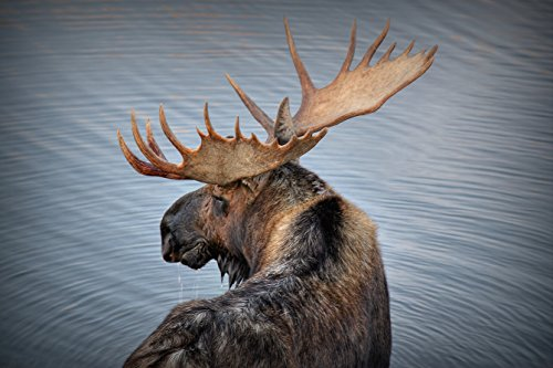 """Moose Drool"" – Moose Photograph by Ryan Smith"