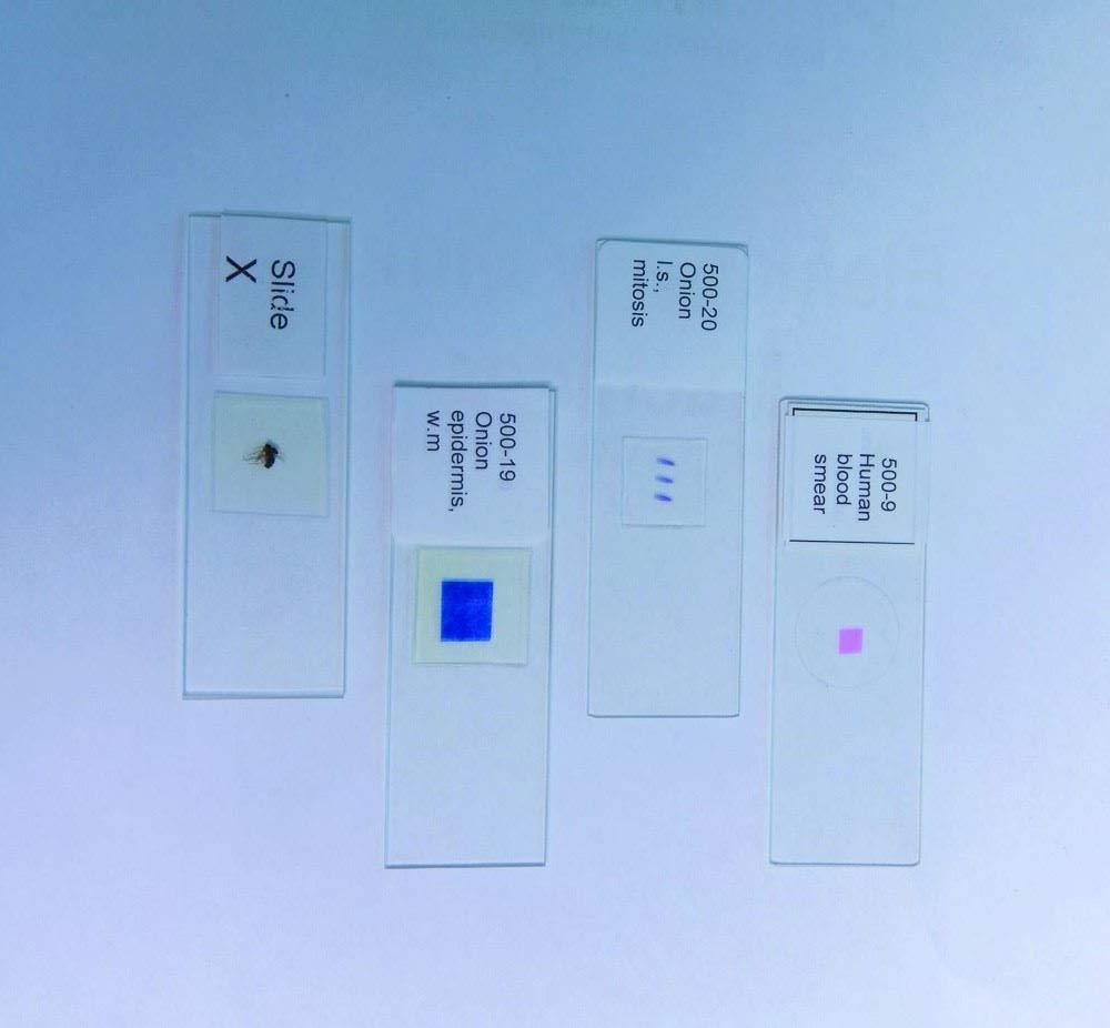 United Scientific Supplies 500-8Striated Muscle LS Prepared Microscope Slide