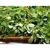 Red Gruner Purslane Seeds by Stonysoil Seed Company... Delicious as a vegetable, also medicinal and healthy with high concentration of Omega 3 Fatty Acids