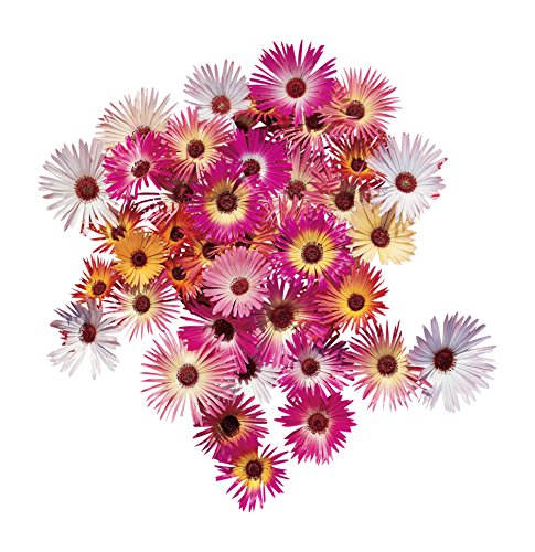 Burpee Harlequin Mix Ice Plant Seeds 120 -