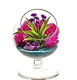 "zen garden plants Bliss Gardens Air Plant Terrarium - 4"" Round Glass Pedestal Kit - Turquoise Passion"