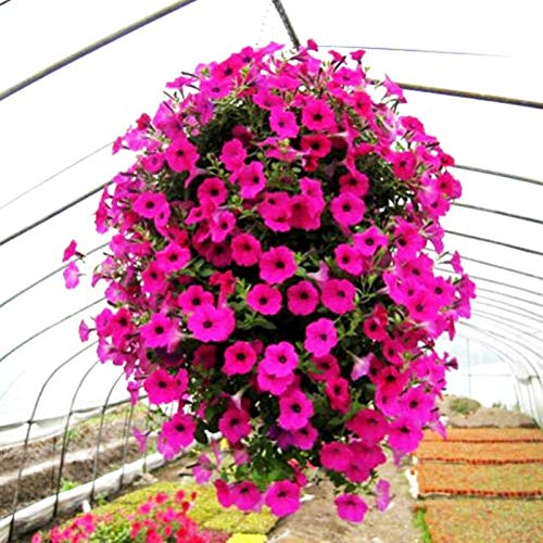 Seeds Trailing Petunia Hanging hybrida Garden Purple Flowers Home Decor 50 pcs