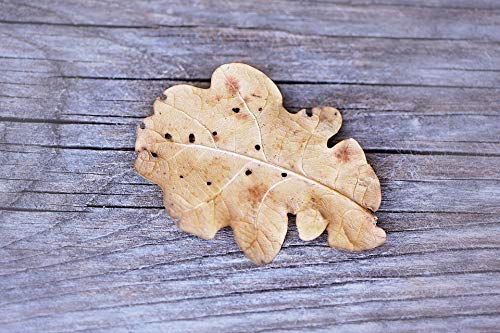 (Home Comforts Canvas Print Leaf Grey Oak Leaf Wood Weathered Dry Leaves Vivid Imagery Stretched Canvas 32 x 24)