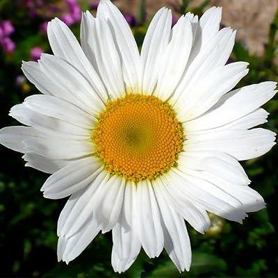 450 Seeds, Shasta Daisy (Chrysanthemum Maximum) Seeds By Seed Needs