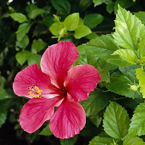 Semi Bianco Rosa Semi di Ibisco Catkoo 100 Pz Rare Gigante Hibiscus Corallo Esotico Semi Giardino di Casa Fiori Decor Pianta