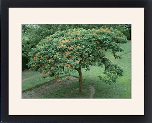 Framed Print of SG-00860-C Flamboyant Tree