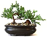 9GreenBox - Juniper Tree Bonsai with Bonsai Pot