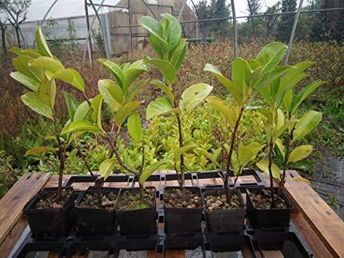economico online Lauro Lauro Lauro 30 piante (foto reali)  Felice shopping