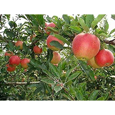1 Dwarf Fuji Apple Tree 3 FT Flowering Fruit Trees Live Plants Food Gift Farm : Garden & Outdoor