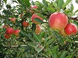 1 Dwarf Honey Crisp Apple Tree 2-3 FT Flowering Fruit Trees Sale Today ONLY