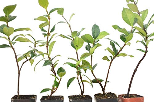 Star Jasmine Live Plant Rooted Potted White Flower 6-10 Inches Tall Grown from Cutting 6-12 Months Old (5 Plant Pack) (Desert Rose Plants For Sale In Florida)