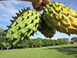 Rare Biriba Nanqka Custard Apple Rollinia mucosa Tropical Fruit Tree Annona