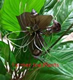 TACCA - BLACK BAT PLANT FLOWER - LARGE LIVE PLANT - 10'' POT - EXOTIC