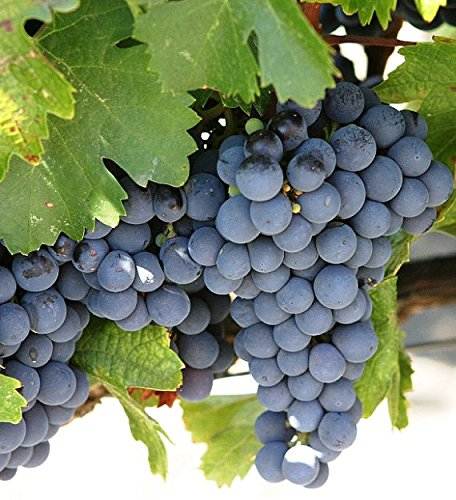 Concord Live Potted Grape Plant, 1-2 Years Old. by Maya Gardens, Inc. (Image #3)
