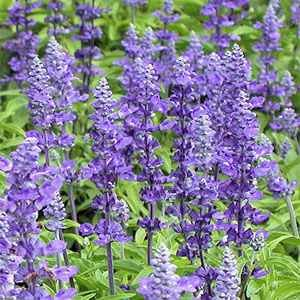 (Outsidepride Salvia Blue Victory - 1000 Seeds)