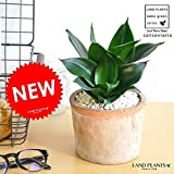 LAND PLANTS 【観葉植物】 空気清浄の木 サンスベリア ピュアグリーン (モスポット鉢)