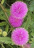 TROPICA - Mimose Großblütig 'Pink Sparkles' (Mimosa nuttallii) - 30 Samen